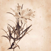 Old paper background with creeping phlox — Stock Photo