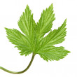 Young wild hops leaf, isolated - Stock Photo