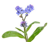 Forget-me-not (Myosotis) branch, isolated — Stock Photo