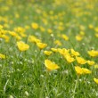 Buttercups - Stock Photo