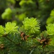 Young fir shoots — Stock Photo #6924354