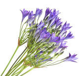Brodiaea , clusterlily,bunch, isolated — Stock Photo