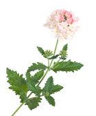 Verbena jardín rosa suave, abigarrado — Foto de Stock