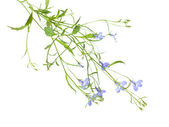 Trailing lobelia plants isolated on white background. alternativ — Stock Photo