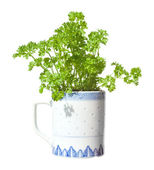 Growing parsley in a mug (windowsill gardening), isolated — Stock Photo