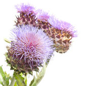 Blooms of Cynara cardunculus, Cardoon Artichoke Thistle — Stock Photo