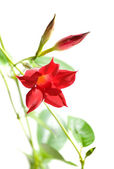 Flowering Mandevilla (Dipladenia), isolated — Stock Photo