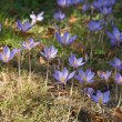 Autumn crocus - Stockfoto