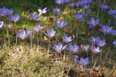 Autumn crocus — Stock Photo
