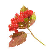 Viburnum branch, isolated — Stock Photo