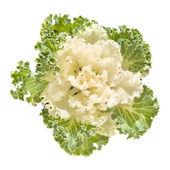 White decorative cabbage — Stock Photo