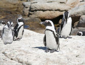 African penguins ( black-footed or jackass penguin) — Stock Photo