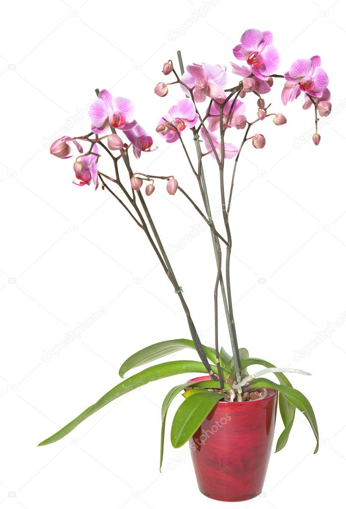 233 phalaenopsis orchid 233 e dans un pot en verre isol 233 sur la pentec 244 te photographie