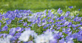 Anemones, panoramic format (anemone blanda) — Stock Photo