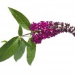 Dark purple buddleja (batterfly bush), isolated — Stock Photo