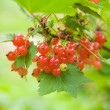 Ripening redcurrant — Stock Photo