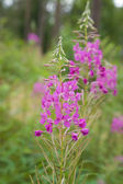Fireweed, Rosebay Willowherb (Epilobium angustifolium) — Stock Photo