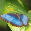 Morpho peleides butterfly - Stock Photo