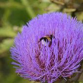 Bumblebee on artichoke flower — Stock Photo