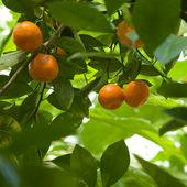 Satsumas ripening in branches — Stock Photo