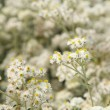 Anaphalis (Pearly everlasting) flowers background - Stock Photo