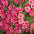 Bright pink autumn asters background - 图库照片