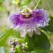 Passion flower — Stock Photo #7606849