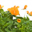 Stock Photo: Bright orange garden viola, corner arrangement