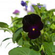 Stock Photo: Dark purple garden viola