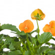 Stock Photo: Lower border of bright orange garden viola
