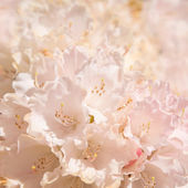 Flowering pale pink azalea background — Stock Photo