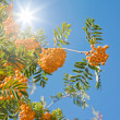 Bright orange rowan berry clusters against clear blue sky, sunli — Stock Photo