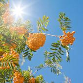 Bright orange rowan berry clusters against clear blue sky, sunli — Stock Photo