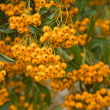 Firethorn (Pyracantha) berries clusters — Stock Photo