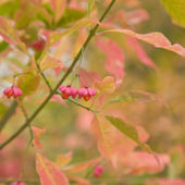 Autumn Euonymus (spindle) plant berries — Stock Photo