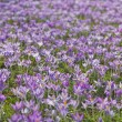 Flowering crocuses - ストック写真
