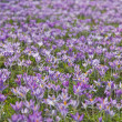 Flowering crocuses - Photo
