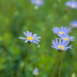 Felicia amelloides (Blue Marguerite, Kingfisher Daisy) - Stock Photo
