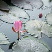 Pink nymphaea bud — Stock Photo