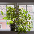 Stock Photo: Overgrown geranium plant in black pot on old fashioned multipa