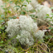 Clump of Cladonirangiferina,(Reindeer lichen, Reindeer moss ,Caribou moss — Stock Photo #7878408