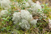 Clump of Cladonia rangiferina,(Reindeer lichen, Reindeer moss ,Caribou moss — Stock Photo