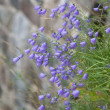 Clump of harebells (Harebell (Campanulrotundifolia) growing on — Stock Photo #7899384