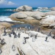 Colony of african penguins (Spheniscus demersus; also known as t — Stock Photo