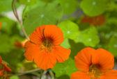 Nasturtium (Tropaeolum) — Stockfoto