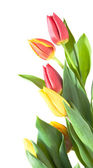 Border of yellow, variegated and red tulips isolated on white — Stock Photo