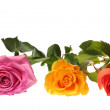 Three different roses — Stock Photo