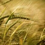 Ears of ripe barley growing on a farm field — Stock Photo #7415776