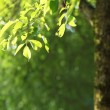 Beatiful green natural background - beech tree branch lit by the — Stock Photo