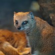 Funny and cute suricate (meerkat) in warm light of a heat lamp — Stock Photo #7416160